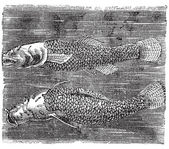 Northern cavefish or Amblyopsis spelaea vintage engraving. — Stock Vector
