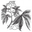 Virginia Creeper, Ampelopsis oder Parthenocissus Quinquefolia, am — Stockvektor