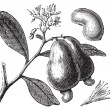 Occidental cashew or Anacardium occidentale tree, apple and nuts — Stockvector #6710494