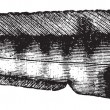 Seawolf, Atlantic wolffish or catfish or anarrhichas vomerinus o — Vektorgrafik