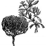 Anastatica hierochuntica, tumbleweed or resurrection plant old v — Stock Vector #6710682