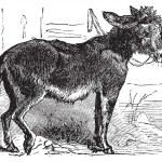 Domesticated donkey, ass, asinus vulgaris or Equus africanus asi — Stock Vector #6711001