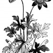 Anemone hortensis or Fior di Stella flower vintage engraving. — Stock Vector #6711054