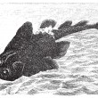Squatina angelus or Angel shark old engraving. — Stockvectorbeeld