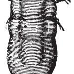Locust mite or Astoma gryllaria vintage engraving — Stock Vector