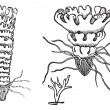 Постер, плакат: Life cycle of a Jellyfish or Aurelia vintage engraving