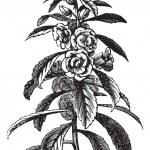 Garden Balsam vintage engraving — Stock Vector