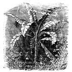 Banana tree or Musa acuminata, Musa balbisiana., vintage engravi — Stock Vector #6717017