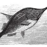 longspine snipefish старинные гравюры — Cтоковый вектор