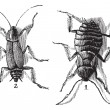 Male and Female, Cockroaches, (left) male, (right) female, vinta — Wektor stockowy #6718659