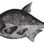 Common bream or Abramis brama, freshwater, fish , vintage engrav — Stock Vector #6719385
