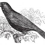 Giant Cowbird or Molothrus oryzivorus, bird, vintage engraving. — Stock Vector #6719634