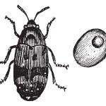Bruchus pisorum, pea weevil or beetle vintage engraving. — Stock Vector #6719639