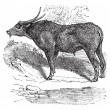 Water buffalo or Bubalus bubalis, buffalo, Indian, vintage engra - Векторная иллюстрация