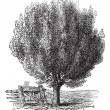 Boxwood or Buxus, tree, vintage engraving. - Vettoriali Stock