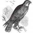 Stock Vector: Buteo buteo or Common Buzzard, raptor, vintage engraving.