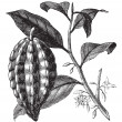 Cacao tree or Theobromcacao, leaves, fruit, vintage engraving. — Vector de stock #6719991