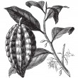 Cacao tree or Theobromcacao, leaves, fruit, vintage engraving. — Vecteur #6719991