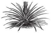 Pineapple, ananassa sativa or ananas comosus old vintage engravi — Stock Vector