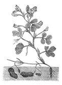 Jordnöt eller jordnötsolja vintage gravyr — Stockvektor