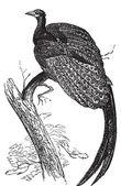 Argus giganteus o fagiano grande, comune specie fagiano vecchio — Vettoriale Stock