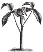 Arisaema triphyllum or wild turnip old engraving. — 图库矢量图片