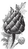 Artichoke, globe artichoke or Cynara cardunculus old engraving. — Stock Vector