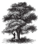 Artocarpe, Breadfruit or Artocarpus altilis old engraving. — Stock Vector