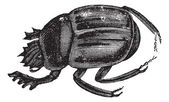 Scarab beetles or Ateuchus aegyptiorum . Vintage engraving — Stock Vector