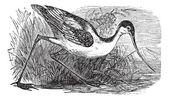Czarnogłowy kamczacki szablodziób lub recurvirostra ptaków. vintage grawerowane. — Wektor stockowy