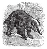 The Hog Badger or Arctonyx collaris. Vintage engraving. — Stock Vector