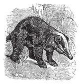 The Hog Badger or Arctonyx collaris. Vintage engraving. — Stock Vector