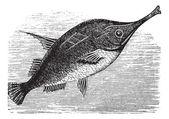 Longspine Snipefish vintage engraving — Stock Vector