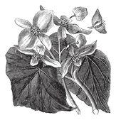 Begonia or Begoniaceae flower, vintage engraving. — Stock Vector