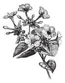 Four o' Clock Flower vintage engraving — Stock Vector