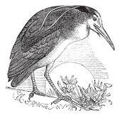 Martinete o nycticorax nycticorax, pájaro, américa del norte, vint — Vector de stock