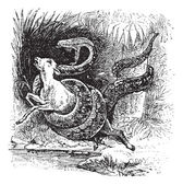 Boa constrictor, snake, vintage engraving. — Stock Vector
