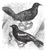 Bobolink or Dolichonyx oryzivorus, two, birds, vintage engraving — Stock Vector