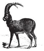 Alpine Ibex or Capra ibex, goat, vintage engraving. — Stock Vector