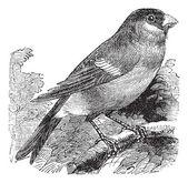 Eurasian Bullfinch or Pyrrhula pyrrhula,,bird, vintage engraving — Stock Vector