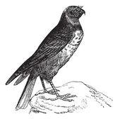 лунь или circus cyaneus, птица, старинные гравюры. — Cтоковый вектор