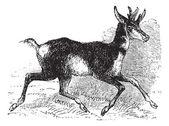 Antilocapra americana or pronghorn vintage engraving. — Stock Vector