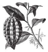 Cacao boom of theobroma cacao, bladeren, fruit, vintage gravure. — Stockvector