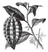 Kakao ağacı veya theobroma cacao, yaprak, meyve, antika gravür. — Stok Vektör