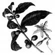 Vector de stock : Coffea, or Coffee shrub and fruits, vintage engraving.