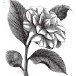 Vector de stock : CamelliJaponicor Rose of winter vintage engraving