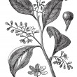 Camphrier officinal or Camphora officinarum vintage engraving - Stok Vektör
