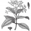 Постер, плакат: Cinnamomum verum or True cinnamon vintage engraving