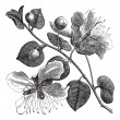 Common caper or Capparis spinosa vintage engraving - Stok Vektör
