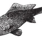 Cyprinus carpio or common carp vintage engraving — Stock Vector #6721000